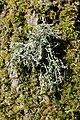 Ramalina farinacea (25749215867).jpg