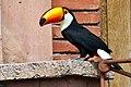 Ramphastos toco -Montecasino Bird Gardens, Montecasino, Fourways, Johannesburg, South Africa-8a (1).jpg
