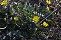 Ranunculus ficaria 'Brambling' 03.jpg