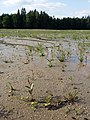 Ranunculus flammula sl16.jpg