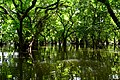 Ratarghul Swamp forest. Photo by Md. Shahed Redwan.jpg