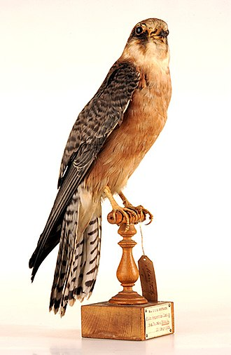 Bird collections - Early collection used lifelike mounts like this red-footed falcon.