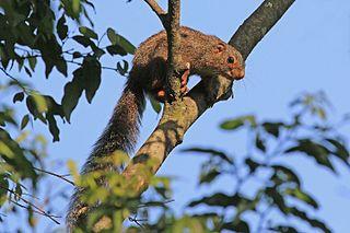 Red-legged sun squirrel species of mammal