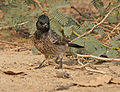 Red-vented Bulbul (Pycnonotus cafer)- race cafer looking at chapatis at Hodal Iws IMG 1102.jpg