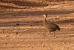 Red-winged Tinamou (Rhynchotus rufescens) crossing the Transpantaneira... (28631744485).jpg