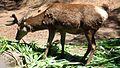Red deer-kpk.jpg