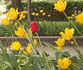 Red tulip in a sea of yellow.jpg