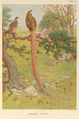 Reeves's Pheasant by Charles Knight.png