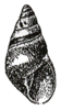 Drawing of shell of Rhachistia aldabrae