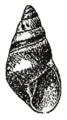 Rhachistia aldabrae shell.png