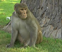 Rhesus Macaque, Red Fort, Agra.jpg