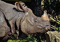 Rhinocéros Indien.JPG