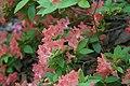 Rhododendron Aladdin 5zz.jpg