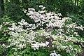 Rhododendron Aviator 1zz.jpg