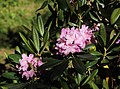 Rhododendron Tuiranpuisto Oulu 20180521 01.jpg
