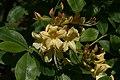 Rhododendron austrinum 16zz.jpg