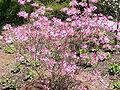 Rhododendron vaseyi2.jpg