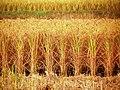 Rice (23344022170).jpg