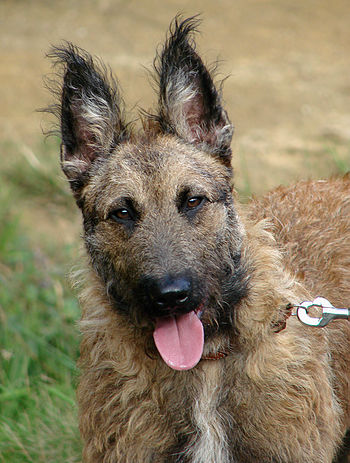 Righel, a nine months old Belgian shepherd Lae...