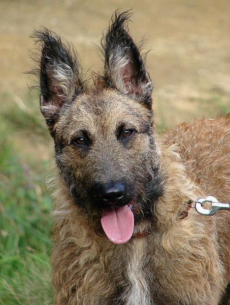 الفرق بين الكلب البلجيكي و الالماني - بالصور 453px-Righel_berger_laekenois_120807