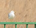 Ring-billed gull (32795619104).jpg