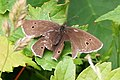 Ringlet Butterfly - Slightly Damaged - geograph.org.uk - 882009.jpg