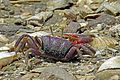 River Crab, Gambia (12561151994).jpg
