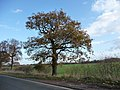 Roadside tree - geograph.org.uk - 1592307.jpg