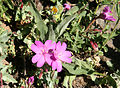Rock fringe Epilobium obcordatum close.jpg