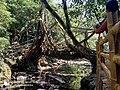 Root Bridge in Meghalaya IMG 20181027 113149 2.jpg