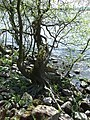 Roots around Loch Leven - geograph.org.uk - 454065.jpg