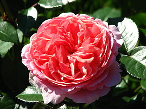 Rosa 'Duchess of Cornwall' - Image: Rosa 'Chippendale' 01