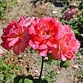 "Rosa ""Floricel"". 04.jpg"