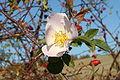 Rosa canina flower.jpg