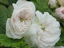 Rosa damascena2.jpg