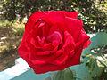 Rosa indica cultivator at Madhurawada 03.jpg
