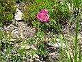 Rosa pendulina 1.jpg