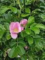 Rosa rugosa inflorescence (21).jpg