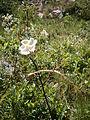 Rosa spinosissima 001.jpg