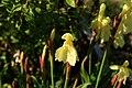 Roscoea-cautleoides-flower.jpg