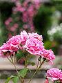 Rose, Charmian, バラ, チャーミヤン, (12856268314).jpg