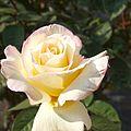 Rose, Garden Party, バラ, ガーデン パーティ, (14491216273).jpg