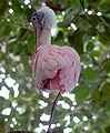 Roseate Spoonbill Platalea ajaja National Aviary 2650px.jpg