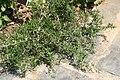 Rosmarinus officinalis Lockwood De Forest 0zz.jpg
