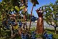 Rotatoria di via Centese, raccolta dell'uva.jpg