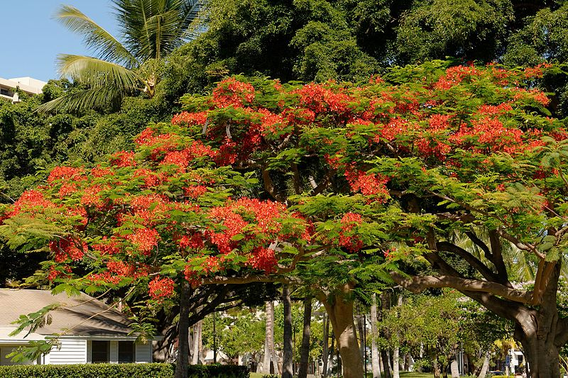 File:Royal Poinciana Tree (9180164777).jpg