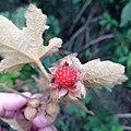Rubus reflexus 133978135.jpg