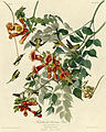 Ruby-throated Humming Bird (Audubon).jpg
