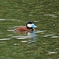 Ruddy Duck (7504157672).jpg