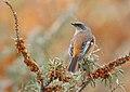 Rufous-backed Redstart (Phoenicurus erythronotus) (45911503612).jpg